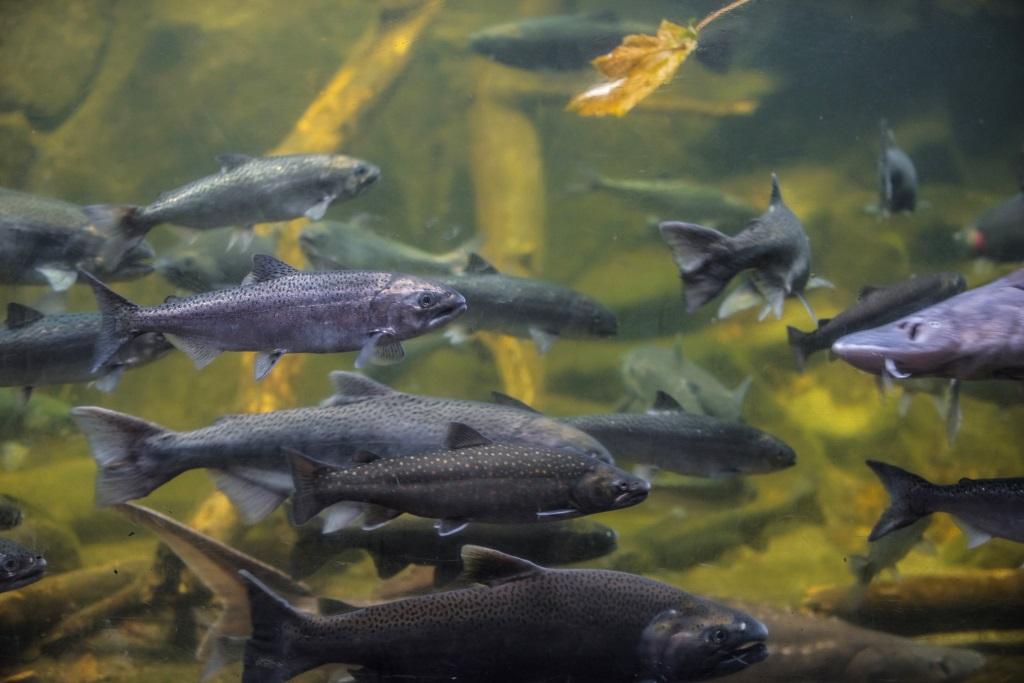 Wandernde Fische ziehen flussaufwärts